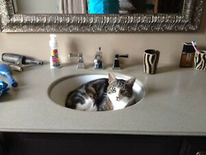 Tucker - Lost Male Cat - Grey Tabby with White Shorthair