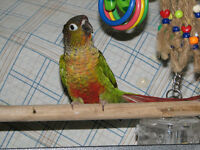 Hand fed Baby Green Cheeked Conures
