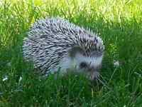 Young Female Hedgehog for Sale