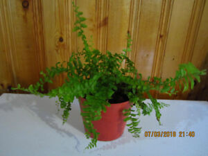 Boston Fern - Air purifying Plant