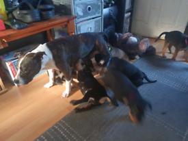 7x staffie x rottweiler puppies