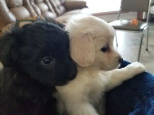 Mini Eskipoo pups