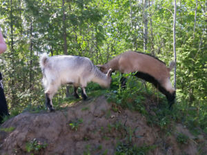 Pygmy Goat and Nigerian Goat.