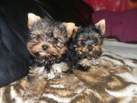 yorkie   male pup