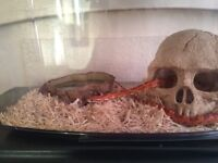Male corn snake (Loki)