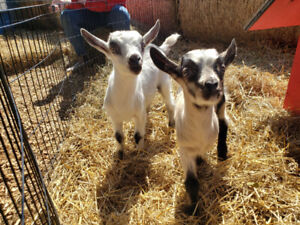 2 baby goats