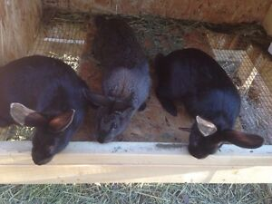 Mixed breed rabbits Only 8 left! SOLD PENDIN PICK UP