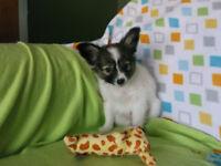 *~*~*~Male PAPILLON Puppy~*~*~*