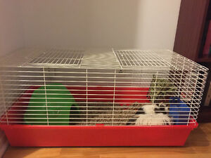 2 guinea pigs, cage and all assessories