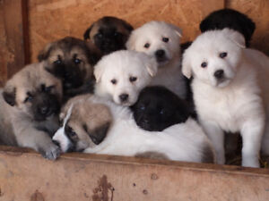 Kangal/ Maremma X Akbash /Afghan Tiger Dog  Puppies For Sale