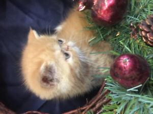 CFA Reg'd Purebred Exotic Shorthair Kittens