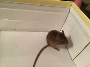 Pet Mice For Sale | Kijiji: Free Classifieds in Ontario ...