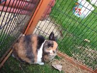 Two male rabbits with two tier hutch, cover and run plus accessories