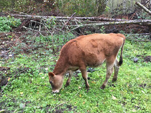 2 jersey steer calves for sale (6 months old) maple ridge