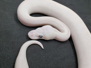 Female blue eyed lucy (bel) ball python