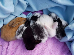 Purebred Holland Lop baby bunnies Batch 1