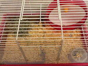 A female hamster, cage and accessories Stratford Kitchener Area image 3