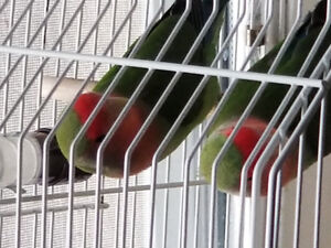 Love Birds For Sale! (Cage Included!