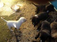 Staffie pups Staffordshire bull terrier puppies