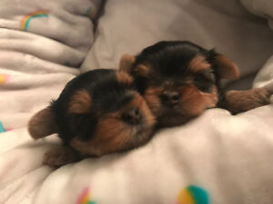 Beautiful ckc registered male Yorkshire terrier
