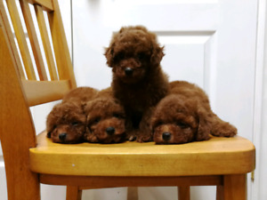 Dark Red Tiny Toy Poodle Puppies——3 girls left
