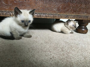 Cutest little Seal Point Siamese Kittens