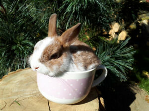 EXTRAORDINARY Orange Netherland Dwarf, Lionhead, Mini Rex Rabbit