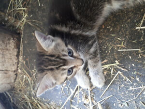 Farm raised kitten