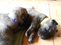 IRISH WOLFHOUND PUPPIES: CKC registered