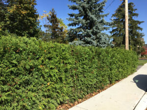 White Cedars Make a Great Privacy Hedge