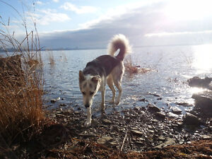 Aylmer/Hull -  Experienced, Reliable Dog Walker