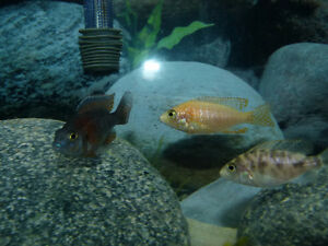 Group of 40 cichlids for sale
