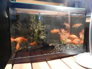 Looking for homes for my 3+ inch common goldfish! 3 for $5