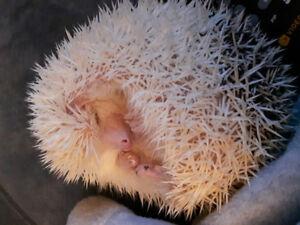 Herisson femelle de 9 mois