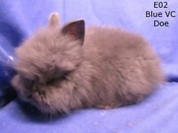 Lionheads Baby Bunny Rabbits