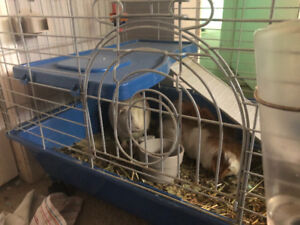 Guinea pigs for rehoming comes all supplies for 145