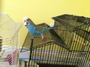 Hand Trained Budgie with Cage