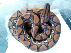 Rainbow Boa | Kijiji in Ontario  - Buy, Sell & Save with