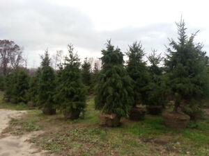 Mature Trees. Half Price