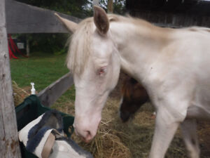 White Filly For Sale