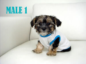 Toy Size Morkie Puppies - Non-Shedding/Hypoallergenic