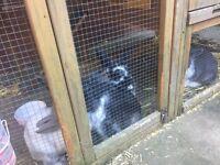 3 female rabbits and massive hutch for sale