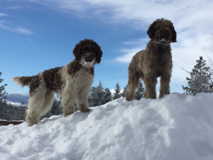 Lagotto Romagnolo Puppy's  Available