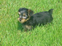 1 Super Cute Male Yorkie 100%adorable, lovable, sweet, lovely