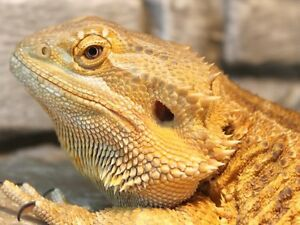 Male Bearded Dragon and Enclosure