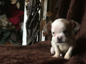 Urgent  RESCUED PUP (3/4 Micro Chihuahua mix 1/4 French Bulldog)