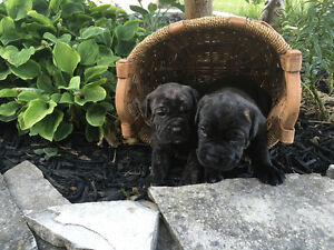Cane Corso Italiano / Italian Mastiff Pure Bred Puppies