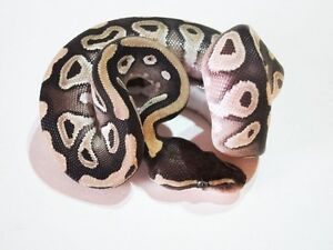 2016 Ball Pythons For Sale!!!!