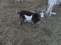 two young goats,  female 100,  male 75, 150 pair