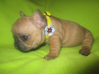 French Bulldog TOP SHOW QUALITY RED puppies!!!